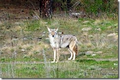 Coyote looking at me