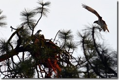 Osprey with nesting