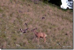 Wild turkey and young Mule deer