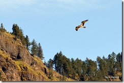 Dozens of Osprey