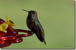 close up hummingbird