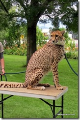 Cheetah from Wildlife Animal Sanctuary
