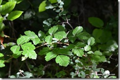 More Poison Oak