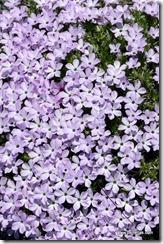 Violet Alpine