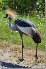 East African Crown Crane