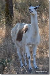 South American Guanaco
