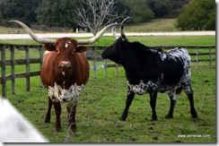 Pineywoods Cattle