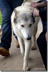 Tala half wolf