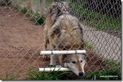 Wolf feeding time