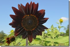 Black Sunflower