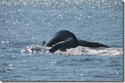 Whale fluke 2