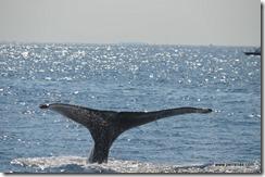 Whale fluke 3