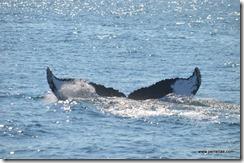 Whale fluke 4