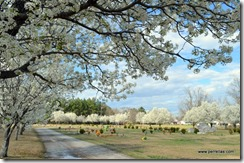 Cleveland Pear Trees in Belmont, MS