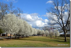 blooming Cleveland Pear Trees