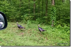 Wild Turkey in Kentucky
