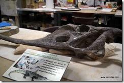 Phytosaur scull