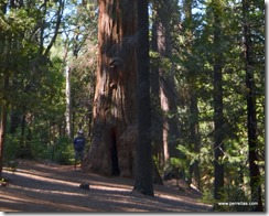 John and a Sequoia in Nelder Grove