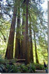 John KatieBug Redwoods