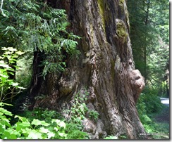 Redwood burls (2)