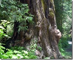 Redwood burls (2)