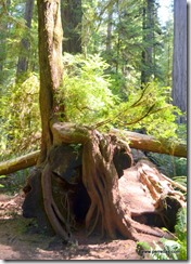 Redwood roots (2)