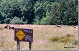 Roosevelt Elk Herd