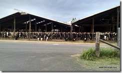 Tillamook cow farm